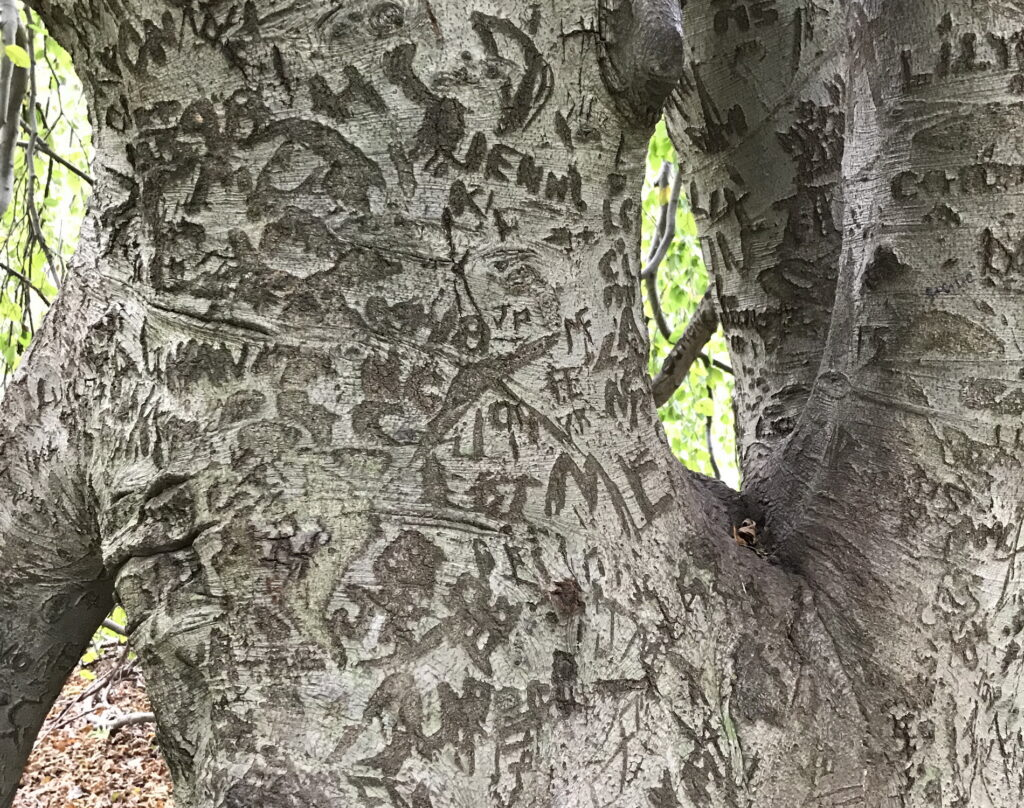 close up of large tree trunk with carved initials